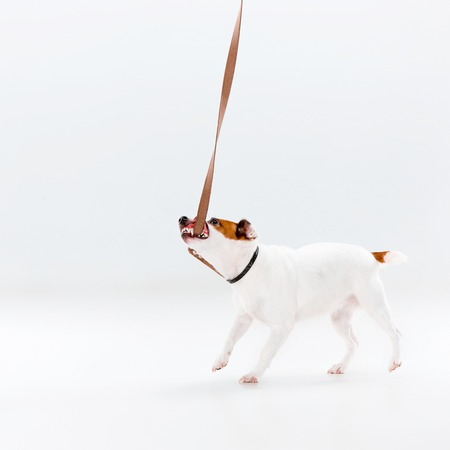 Small Jack Russell Terrier playing on white background Stock Photo