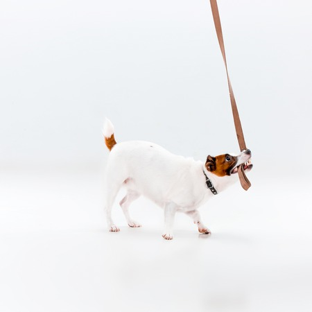 paw russell: Small Jack Russell Terrier playing on white background Stock Photo