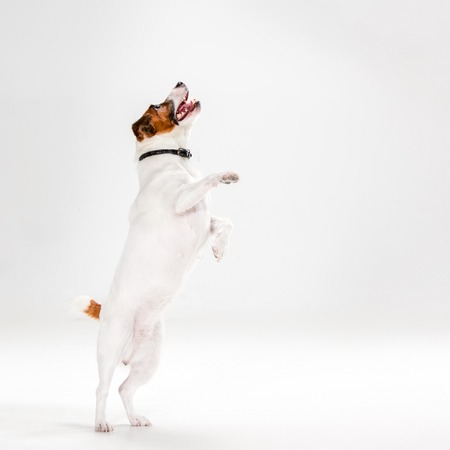 Small Jack Russell Terrier playing on white background 版權商用圖片