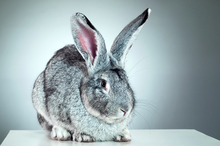 oryctolagus cuniculus: European rabbit or common rabbit, 2 months old, Oryctolagus cuniculus against gray background