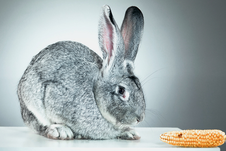 oryctolagus cuniculus: European rabbit or common rabbit, 2 months old, Oryctolagus cuniculus against gray background and corn Stock Photo