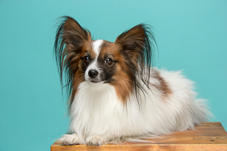 Studio portrait of a small yawning puppy Papillon Stock Photo