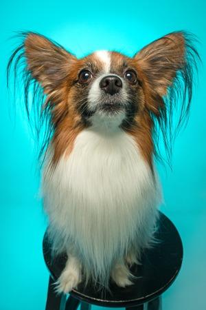 Studio portrait of a small yawning puppy Papillon Stock Photo