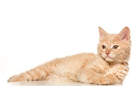 Il gatto su sfondo bianco Archivio Fotografico - 77603130