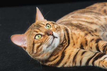 The gold Bengal Cat on black background at studio Stock Photo