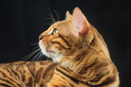 The gold Bengal Cat on black background Stock Photo - 82427206