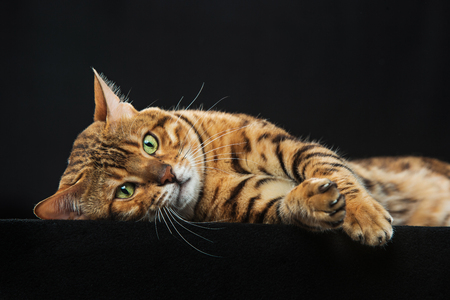 The gold Bengal Cat on black background