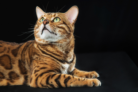 The gold Bengal Cat on black background Stock Photo - 82504435