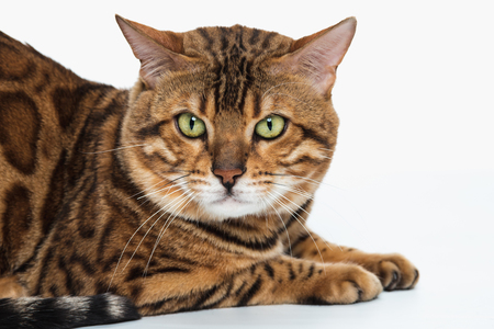 The gold Bengal Cat on white background Stock Photo - 82504820
