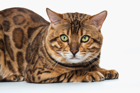 The gold Bengal Cat on white background Stock Photo - 82504809