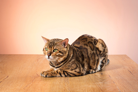 The gold Bengal Cat on brown background
