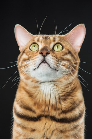 The gold Bengal Cat on black background Stock Photo - 82504428