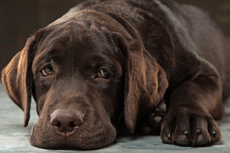 The portrait of a black Labrador dog taken against a dark backdrop. Banco de Imagens - 85092143