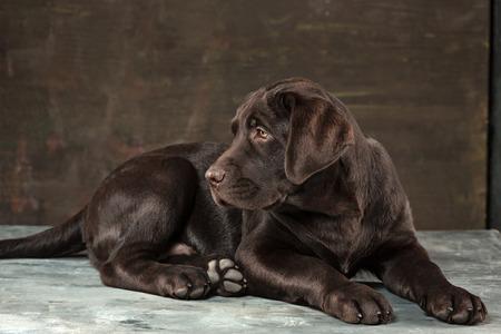 The portrait of a black Labrador dog taken against a dark backdrop. Banco de Imagens - 85134016