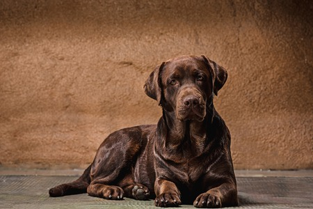 The portrait of a black Labrador dog taken against a dark backdrop.
