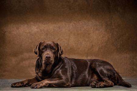 The portrait of a black Labrador dog taken against a dark backdrop. Banco de Imagens - 86963562