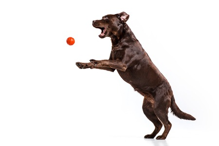 The black Labrador dog playing with ball isolated on white Banco de Imagens - 87047549
