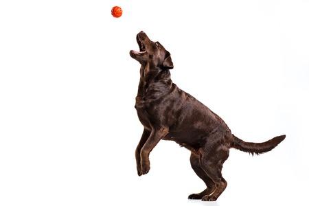 Het zwarte spelen van de hond van Labrador met bal die op wit wordt geïsoleerd