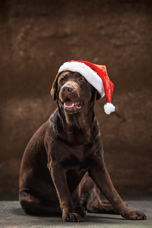 The black labrador retriever sitting with gifts on Christmas Santa hat Archivio Fotografico