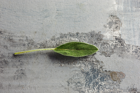 Fresh, organic sage leaf over gray background