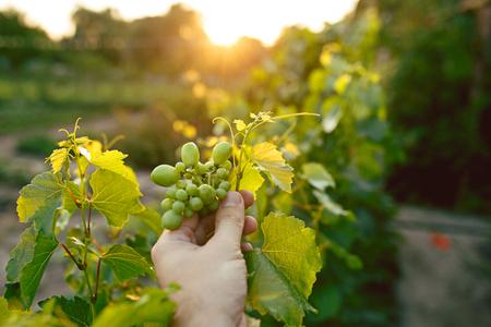 La mano masculina y la rama de uva, trabajan en una granja familiar. Foto de archivo