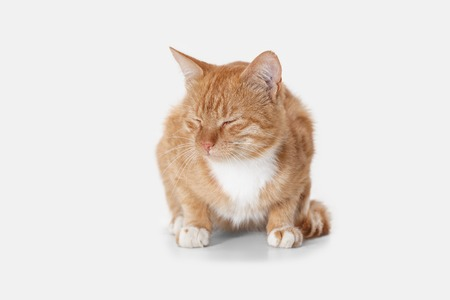 The red serious cat isolated on a white background at studio. The animals emotions concept Stock Photo - 108318217