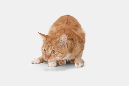 The red serious cat isolated on a white background at studio. The animals emotions concept Stock Photo - 108318218