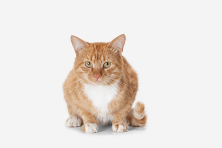 The red serious cat isolated on a white background at studio. The animals emotions concept Stock Photo - 108318224