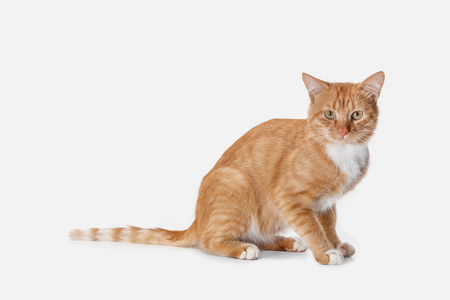 The red serious cat isolated on a white background at studio. The animals emotions concept Stock Photo - 108318237