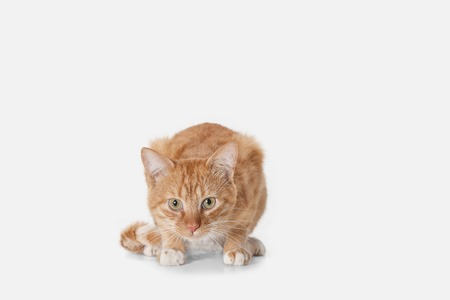 The red serious cat isolated on a white background at studio. The animals emotions concept Stock Photo - 108318239