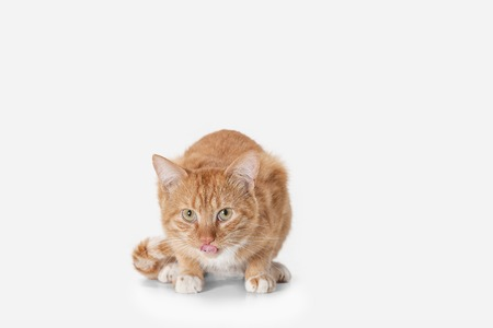 The red serious cat isolated on a white background at studio. The animals emotions concept