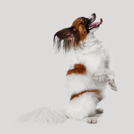 Studio portrait of a small yawning puppy Papillon on gray studio background. The animals emotions concept Stock Photo