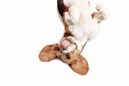 Front view of cute beagle dog sitting, isolated on a white studio background Banque d'images - 108250364