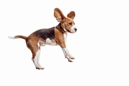 Front view of cute beagle dog jumping isolated on a white studio background Banque d'images - 108250365