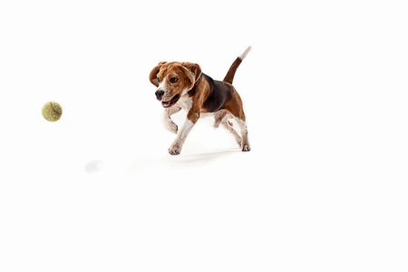 Front view of cute beagle dog with ball isolated on a white studio background Reklamní fotografie - 108250370