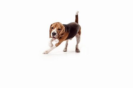 Front view of cute beagle dog sitting, isolated on a white studio background Banque d'images - 108250369