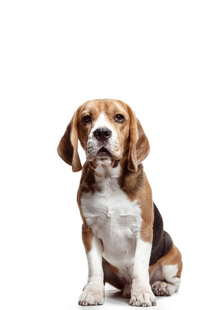 Front view of cute beagle dog sitting, isolated on a white studio background Banque d'images - 108250371