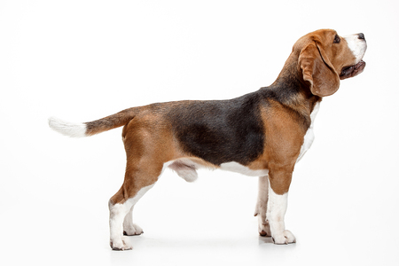 Front view of cute beagle dog sitting, isolated on a white studio background Banque d'images - 108250384