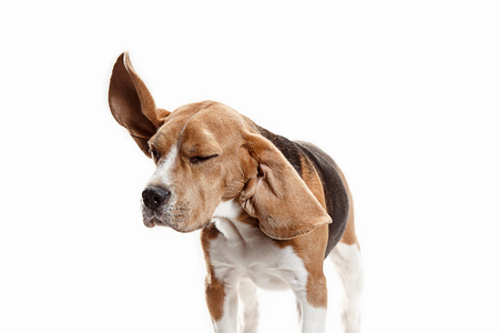 Front view of cute beagle dog sitting, isolated on a white studio background Banque d'images - 108250377