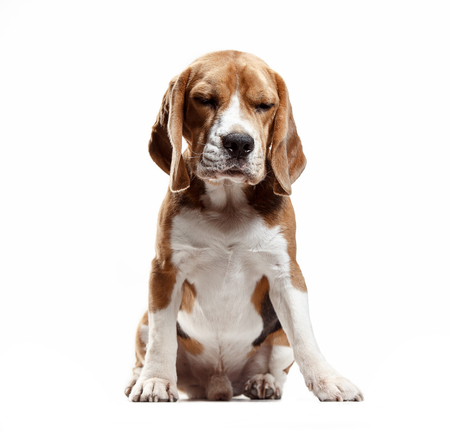 Front view of cute beagle dog sitting, isolated on a white studio background Banque d'images - 108250379