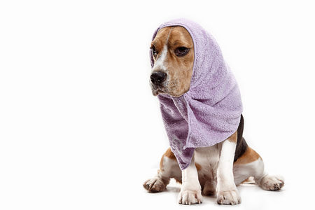 Front view of cute beagle dog sitting, isolated on a white studio background Banque d'images - 108250378