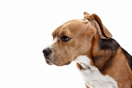 Front view of cute beagle dog sitting, isolated on a white studio background Banque d'images - 108253404
