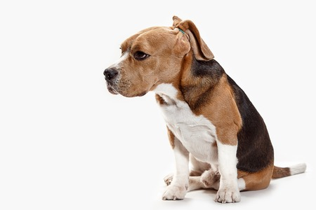 Front view of cute beagle dog sitting, isolated on a white studio background Banque d'images - 108253405