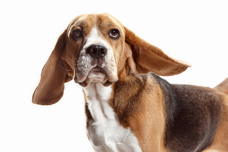 Front view of cute beagle dog sitting, isolated on a white studio background Banque d'images - 108253407