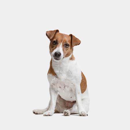 Jack Russell Terrier, geïsoleerd op wit in de studio