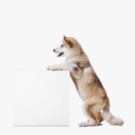 Husky malamute puppy sitting at profile isolated on white studio