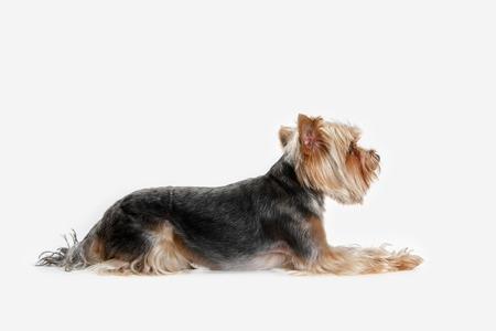 Yorkshire terrier at studio against a white background