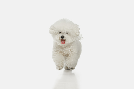 A dog of Bichon frize breed isolated on white color studio