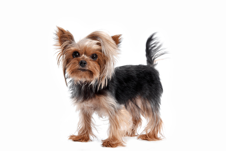 Yorkshire terrier looking at the camera in a head shot, against a white studio background Stock Photo