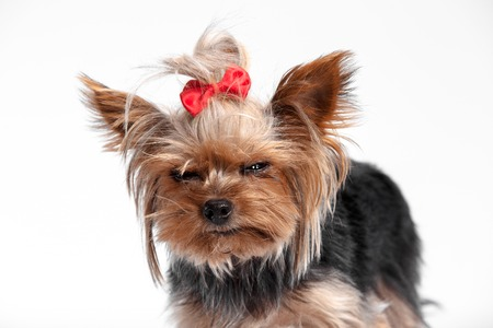 Yorkshire terrier mini - a head shot, against a white studio background